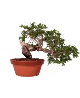 Juniperus Sabina 18 x 27 x 4