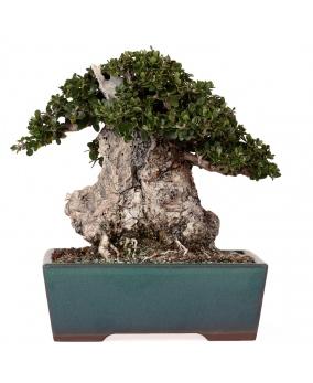 Olea Europaea Sylvestris 18 x 23 x 13