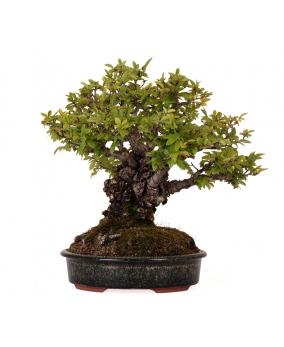 Ulmus Parvifolia Suberosa 24 x 28 x 8
