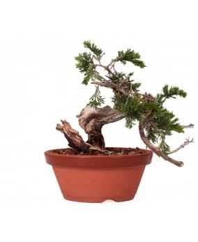 Juniperus Sabina 20 x 26 x 7