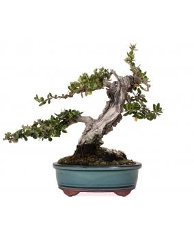 Olea Europaea Sylvestris 17 x 17 x 11