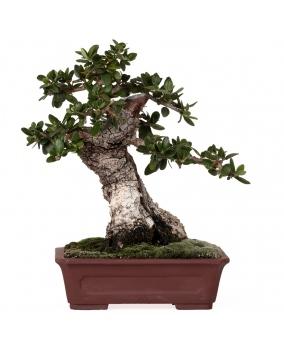 Olea Europaea Sylvestris 20 x 20 x 9