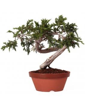 Bonsái Juniperus Sabina 28 x 35 x 3,5