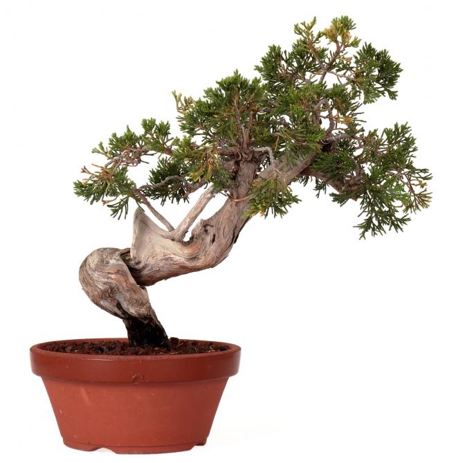 Bonsái Juniperus Sabina 35 x 35 x 4,5