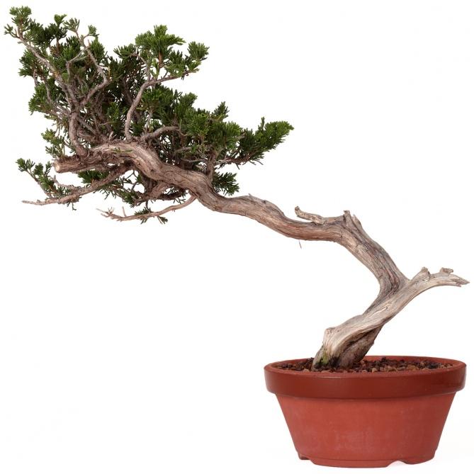 Bonsái Juniperus Sabina 43 x 52 x 5