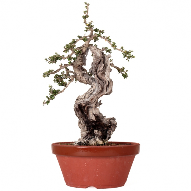 Bonsái Olea Europaea Sylvestris 47 x 33 x 13