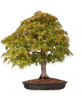 Acer Palmatum Yamamomiji 54 x 53 x 8