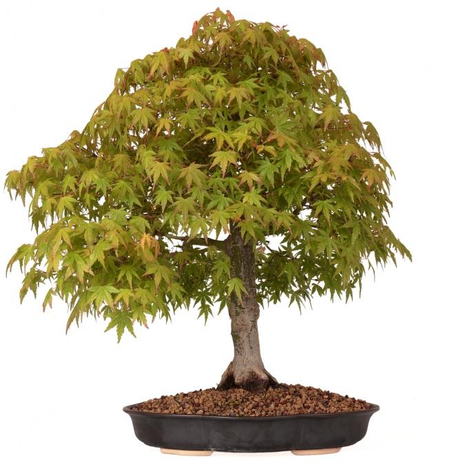 Bonsái Acer Palmatum Yamamomiji 54 x 53 x 8