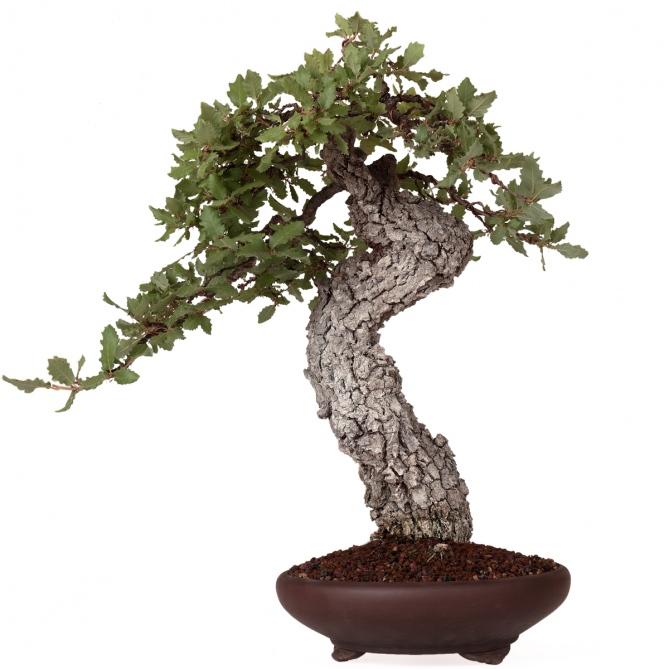 Bonsái Quercus Faginea 60 x 56 x 12