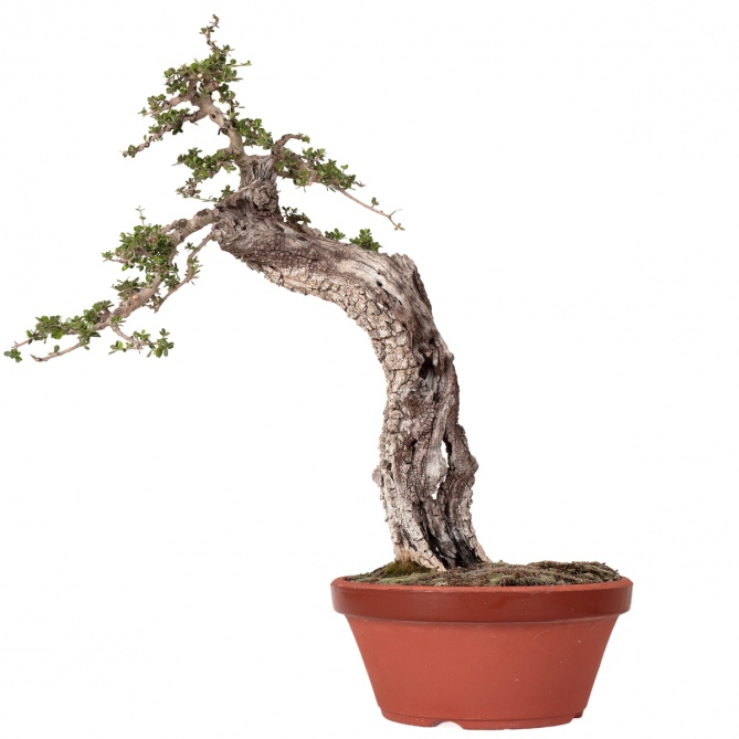 Bonsái Olea Europaea Sylvestris 55 x 43 x 10