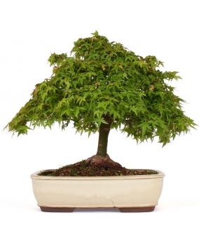 Acer Palmatum Kiyohime 40 x 45 x 12