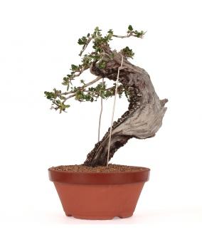 Olea Europaea Sylvestris 33 x 33 x 7