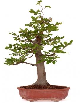 Carpinus Betulus 77 x 60 x 20