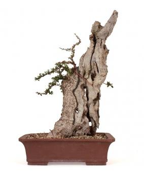 Olea Europaea Sylvestris 54 x 34 x 22