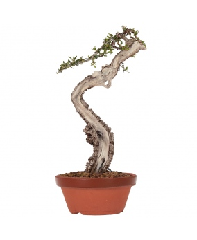 Olea Europaea Sylvestris 31 x 20 x 5
