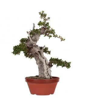 Olea Europaea Sylvestris 50 x 45 x 11