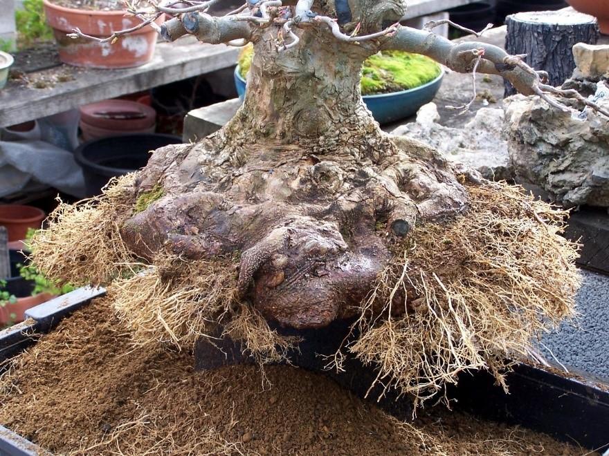 Como hacer y cultivar un bons i desde semilla blog for Como cultivar bonsais