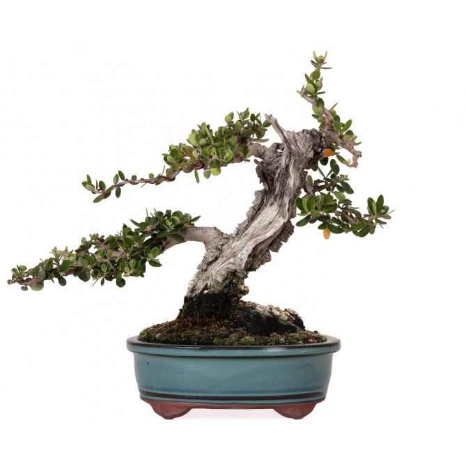 Bonsái Olea Europaea Sylvestris 17 x 17 x 11