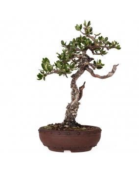Olea Europaea Sylvestris 22 x 20 x 9