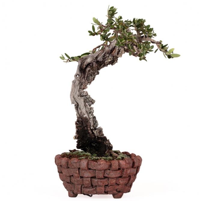Bonsái Olea Europaea Sylvestris 16 x 20 x 4