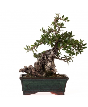 Bonsái Olea Europaea Sylvestris 14 x 19 x 10