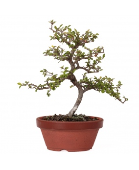 Bonsái Ulmus Parvifolia Microphylla 18 x 18 x 2