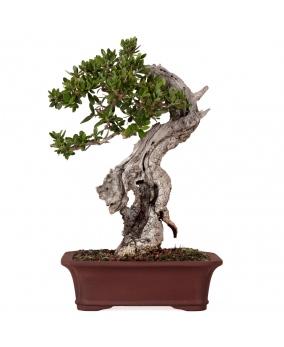 Bonsái Olea Europaea Sylvestris 23 x 15 x 10