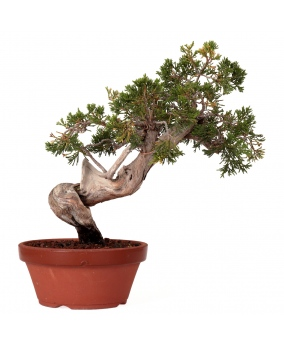 Juniperus Sabina 35 x 35 x 4,5