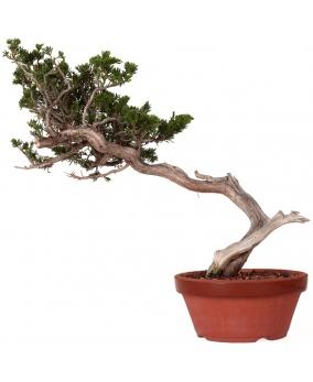Juniperus Sabina 43 x 52 x 5