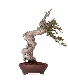 Bonsái Olea Europaea Sylvestris 47 x 44 x 11