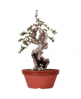 Olea Europaea Sylvestris 47 x 33 x 13