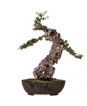 Bonsái Olea Europaea Sylvestris 52 x 47 x 16