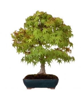 Bonsái Acer Palmatum Yamamomiji 56 x 51 x 8
