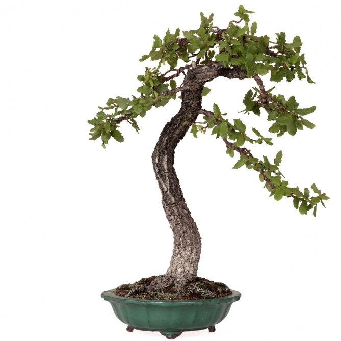 Bonsái Quercus Faginea 67 x 56 x 13