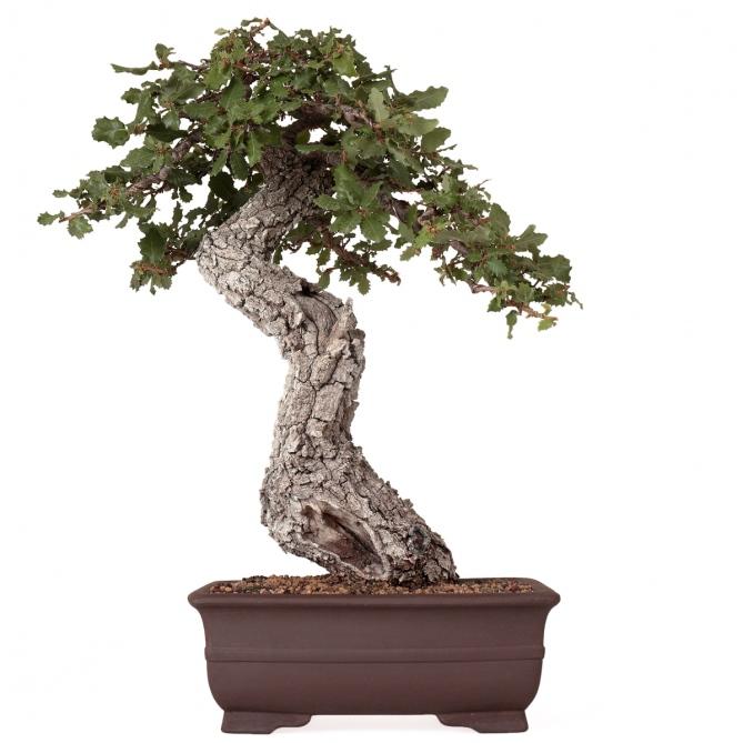 Bonsái Quercus Faginea 51 x 42 x 12