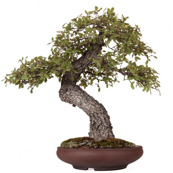 Bonsái Quercus Faginea 64 x 62 x 19