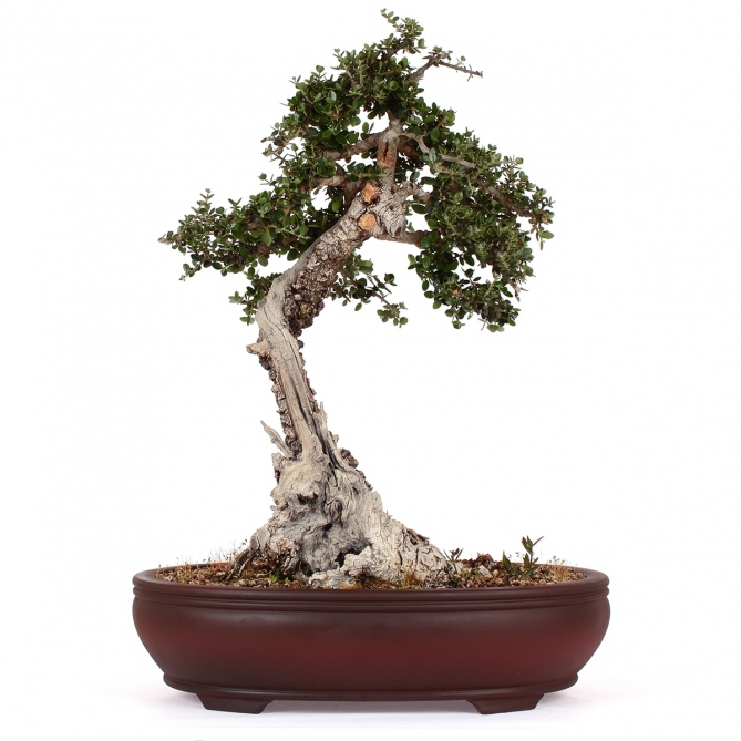 Bonsái Olea Europaea Sylvestris 44 x 30 x 18