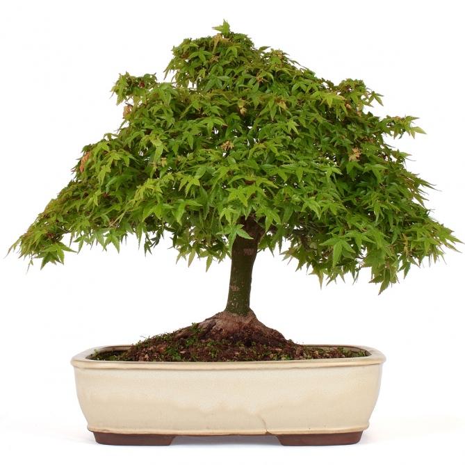 Bonsái Acer Palmatum Kiyohime 40 x 45 x 12
