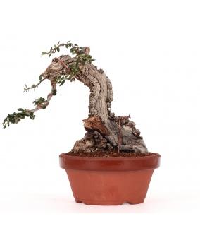 Bonsái Olea Europaea Sylvestris 17 x 22 x 12