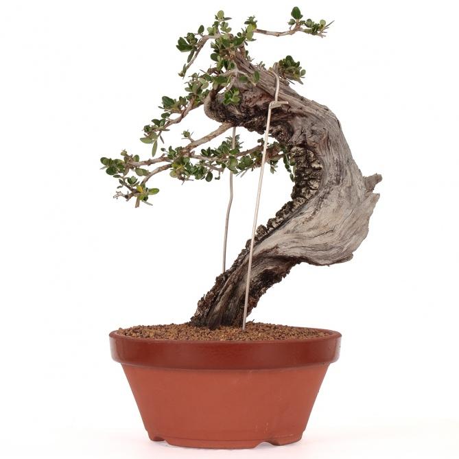 Bonsái Olea Europaea Sylvestris 33 x 33 x 7