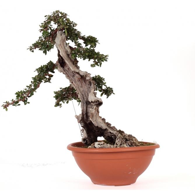 Bonsái Olea Europaea Sylvestris 40 x 38 x 18