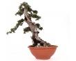Olea Europaea Sylvestris 40 x 38 x 18