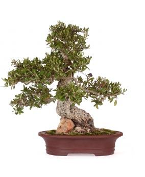Bonsái Olea Europaea 47 x 50 x 10