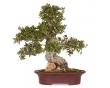 Olea Europaea 47 x 50 x 10
