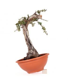 Olea Europaea Sylvestris 35 x 25 x 15