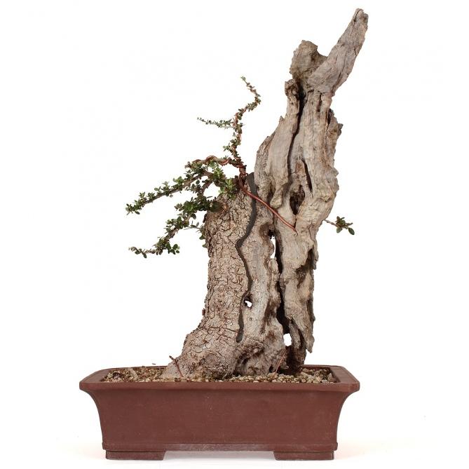 Bonsái Olea Europaea Sylvestris 54 x 34 x 22