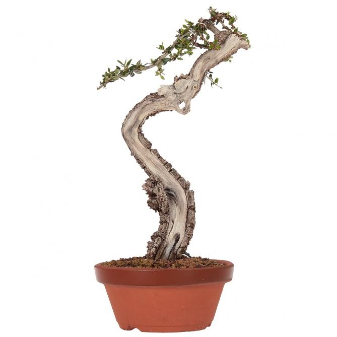 Bonsái Olea Europaea Sylvestris 31 x 20 x 5