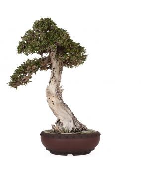 Bonsái Olea Europaea Sylvestris 52 x 39 x 17